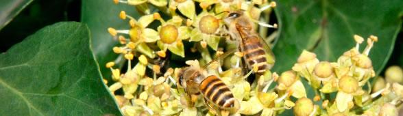 ミツバチ〜