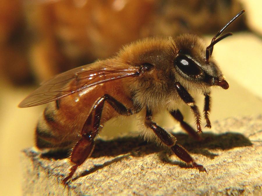アフリカナイズドミツバチ〜