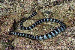 【蛇注意】エラブウミヘビ〜